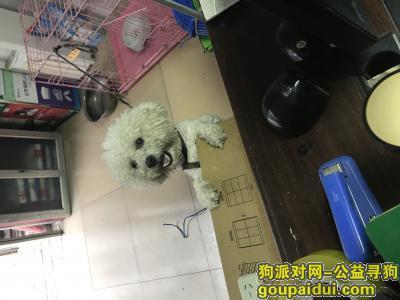 新乡寻狗网,新乡寻狗启示 一岁半白色比熊 可乐,它是一只非常可爱的宠物狗狗,希望它早日回家,不要变成流浪狗。
