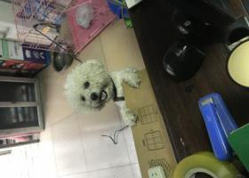 寻狗启示,新乡寻狗启示 一岁半白色比熊 可乐,它是一只非常可爱的宠物狗狗,希望它早日回家,不要变成流浪狗。