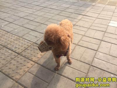 寻狗启示,今早在大红门东桥公交站发现一直棕色泰迪犬,它是一只非常可爱的宠物狗狗,希望它早日回家,不要变成流浪狗。