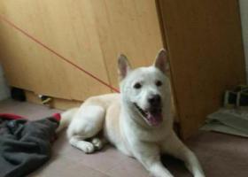 寻狗启示,南宁捡到一只听话的黄白色大狗狗。,它是一只非常可爱的宠物狗狗,希望它早日回家,不要变成流浪狗。