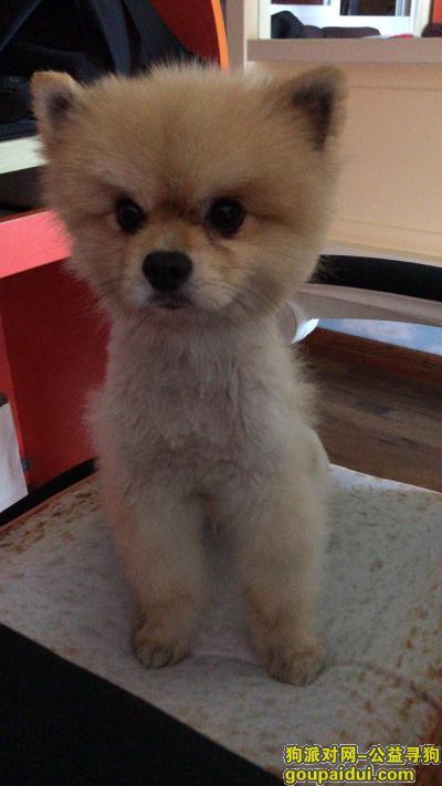 寻狗启示,杭州文三西路捡到公博美犬,它是一只非常可爱的宠物狗狗,希望它早日回家,不要变成流浪狗。