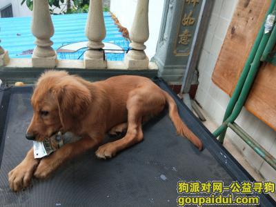 ,一只母金毛犬2019.7.14晚在乐天城丢失,它是一只非常可爱的宠物狗狗,希望它早日回家,不要变成流浪狗。