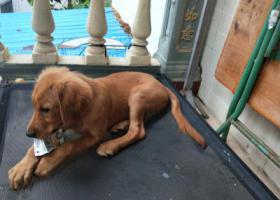 寻狗启示,一只母金毛犬2019.7.14晚在乐天城丢失,它是一只非常可爱的宠物狗狗,希望它早日回家,不要变成流浪狗。