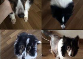 寻狗启示,【寻狗启示】在南浦二区附近丢失一只黑色喜乐蒂(被剃毛),它是一只非常可爱的宠物狗狗,希望它早日回家,不要变成流浪狗。