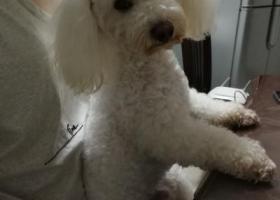 寻狗启示,白色比熊弟弟走丢,着急寻回,它是一只非常可爱的宠物狗狗,希望它早日回家,不要变成流浪狗。