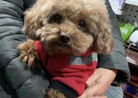 寻狗启示,绵阳涪城区成绵路17-6号丢失泰迪2019年7月16日下午17点,它是一只非常可爱的宠物狗狗,希望它早日回家,不要变成流浪狗。