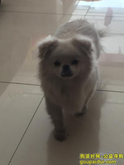 聊城丢狗,东昌府区水城嘉苑对面湖岸走丢小白狗,它是一只非常可爱的宠物狗狗,希望它早日回家,不要变成流浪狗。