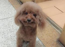 寻狗启示,寻找家人—棕色泰迪八岁,它是一只非常可爱的宠物狗狗,希望它早日回家,不要变成流浪狗。