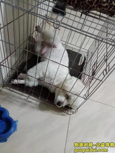 寻狗启示,上海宝山寻狗,白色比熊,它是一只非常可爱的宠物狗狗,希望它早日回家,不要变成流浪狗。