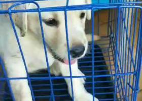 寻狗启示,请大家帮忙找找我的小拉布拉多,它是一只非常可爱的宠物狗狗,希望它早日回家,不要变成流浪狗。