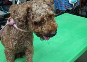 寻狗启示,寻泰迪  公  褐色  4岁,它是一只非常可爱的宠物狗狗,希望它早日回家,不要变成流浪狗。