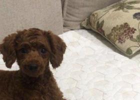 寻狗启示,捡到一只红色小泰迪,一岁多点,它是一只非常可爱的宠物狗狗,希望它早日回家,不要变成流浪狗。