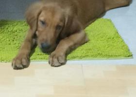 寻狗启示,2019年7月14日在三亚市吉阳镇荔枝沟路乐天城丢失一只金毛犬(母),它是一只非常可爱的宠物狗狗,希望它早日回家,不要变成流浪狗。