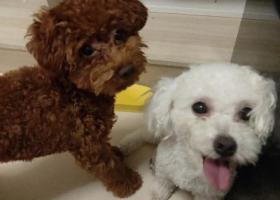寻狗启示,重庆寻狗 白色小体比熊 三岁,它是一只非常可爱的宠物狗狗,希望它早日回家,不要变成流浪狗。