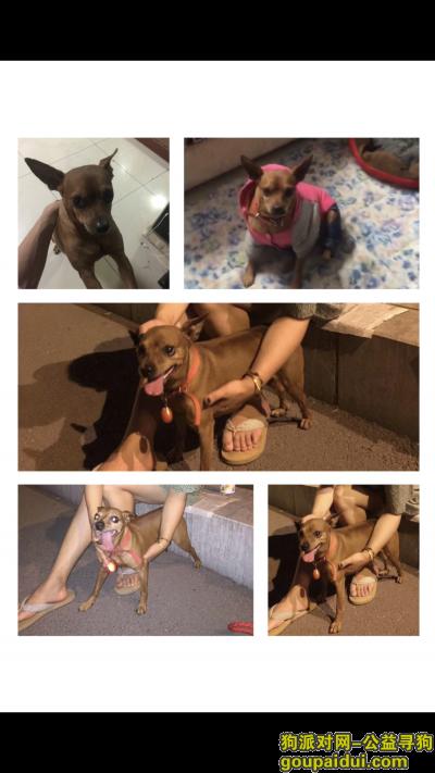 安阳寻狗启示,安阳博书苑小区附近丢失黄色鹿犬,望好心人帮助找回,它是一只非常可爱的宠物狗狗,希望它早日回家,不要变成流浪狗。