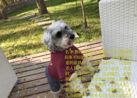 寻狗启示,温岭西苑小区附近丢失雪纳瑞,它是一只非常可爱的宠物狗狗,希望它早日回家,不要变成流浪狗。