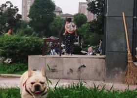 寻狗启示,七月十八号丢失于金御华府,一只法斗,它是一只非常可爱的宠物狗狗,希望它早日回家,不要变成流浪狗。