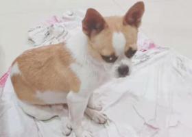 """寻狗启示,长沙岳麓区福元路大桥西滨江休闲公园捡到""""吉娃娃""""一只,它是一只非常可爱的宠物狗狗,希望它早日回家,不要变成流浪狗。"""