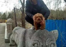 寻狗启示,寻找棕色泰迪狗,名字叫可乐,它是一只非常可爱的宠物狗狗,希望它早日回家,不要变成流浪狗。