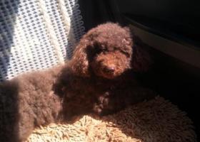 寻狗启示,寻找巧克力色泰迪爱犬,它是一只非常可爱的宠物狗狗,希望它早日回家,不要变成流浪狗。