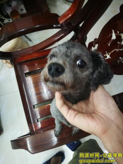 ,灰色泰迪 偏黑 有剪尾 黑鼻子,它是一只非常可爱的宠物狗狗,希望它早日回家,不要变成流浪狗。