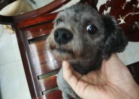 寻狗启示,灰色泰迪 偏黑 有剪尾 黑鼻子,它是一只非常可爱的宠物狗狗,希望它早日回家,不要变成流浪狗。