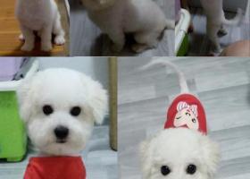 寻狗启示,急寻武汉市汉阳夹河路附近丢失的比熊犬,它是一只非常可爱的宠物狗狗,希望它早日回家,不要变成流浪狗。