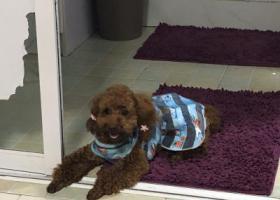寻狗启示,7.20上午泰迪狗走丢,请帮忙找回,谢谢,它是一只非常可爱的宠物狗狗,希望它早日回家,不要变成流浪狗。