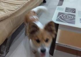 寻狗启示,小可怜,主人等你回家哦!,它是一只非常可爱的宠物狗狗,希望它早日回家,不要变成流浪狗。