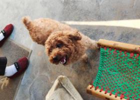 寻狗启示,朝阳国美第一城泰迪走失有重谢,它是一只非常可爱的宠物狗狗,希望它早日回家,不要变成流浪狗。