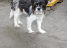 寻狗启示,捡到小狗一只在北京丰台区玉泉营桥西,它是一只非常可爱的宠物狗狗,希望它早日回家,不要变成流浪狗。