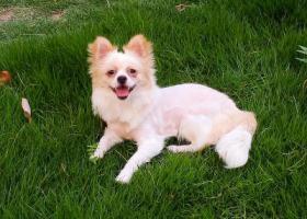 寻狗启示,湖北襄阳小型母犬寻狗启示,它是一只非常可爱的宠物狗狗,希望它早日回家,不要变成流浪狗。