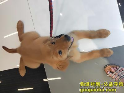 ,2019年7月14日丢失一只金毛犬(母),它是一只非常可爱的宠物狗狗,希望它早日回家,不要变成流浪狗。