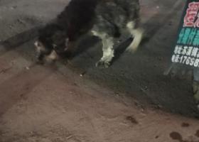 寻狗启示,义乌下骆宅捡到一只怀孕的雪纳瑞,它是一只非常可爱的宠物狗狗,希望它早日回家,不要变成流浪狗。
