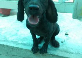 寻狗启示,光华路黑色小狗剪过尾,它是一只非常可爱的宠物狗狗,希望它早日回家,不要变成流浪狗。