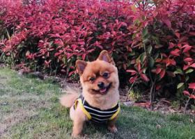寻狗启示,1w重金寻狗已养6年,它是一只非常可爱的宠物狗狗,希望它早日回家,不要变成流浪狗。
