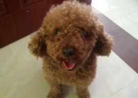 寻狗启示,寻泰迪公 褐色 4岁,它是一只非常可爱的宠物狗狗,希望它早日回家,不要变成流浪狗。