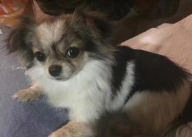 寻狗启示,寻找丢失小狗很急请大家帮忙,它是一只非常可爱的宠物狗狗,希望它早日回家,不要变成流浪狗。