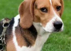 寻狗启示,寻找比格《扎西》5000元答谢,它是一只非常可爱的宠物狗狗,希望它早日回家,不要变成流浪狗。
