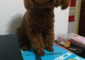 """寻狗启示,寻找红色泰迪妹妹""""红豆"""",必有重谢!!!!!,它是一只非常可爱的宠物狗狗,希望它早日回家,不要变成流浪狗。"""