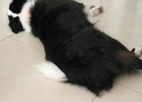 寻狗启示,找狗,帮找狗,急,一只边牧,它是一只非常可爱的宠物狗狗,希望它早日回家,不要变成流浪狗。
