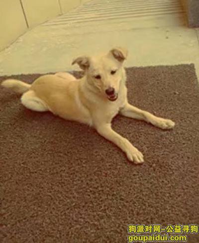 晋中寻狗启示,榆次区的小黄狗,不咬人,不乱叫。,它是一只非常可爱的宠物狗狗,希望它早日回家,不要变成流浪狗。