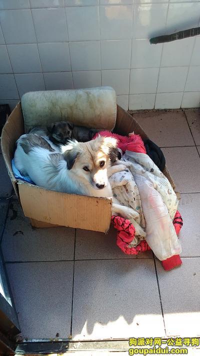 ,大的那只,各位帮忙找找看,谢谢!,它是一只非常可爱的宠物狗狗,希望它早日回家,不要变成流浪狗。