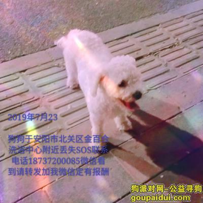安阳找狗,我家比熊于2019年7月23日在北关区金百合洗浴中心附近丢失,全白色卷毛,怀孕肚子有些大,因为我家狗狗从小跟我一起七年了,感情很深,请看到它的联系我,定有报酬???? 18737200085,它是一只非常可爱的宠物狗狗,希望它早日回家,不要变成流浪狗。
