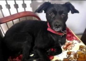 寻狗启示,黑色,断尾的泰迪串串,,它是一只非常可爱的宠物狗狗,希望它早日回家,不要变成流浪狗。