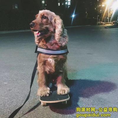 威海丢狗,急寻 !!五岁英国可卡犬!!!感谢好心人帮忙寻求!!,它是一只非常可爱的宠物狗狗,希望它早日回家,不要变成流浪狗。
