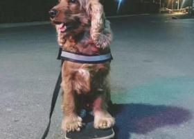寻狗启示,急寻 !!五岁英国可卡犬!!!感谢好心人帮忙寻求!!,它是一只非常可爱的宠物狗狗,希望它早日回家,不要变成流浪狗。