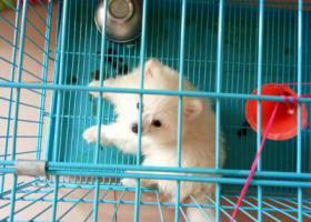 寻狗启示,寻狗启事,我的爱犬(白雪),它是一只非常可爱的宠物狗狗,希望它早日回家,不要变成流浪狗。