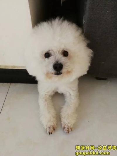 安阳寻狗网,白色比熊   小尾巴,它是一只非常可爱的宠物狗狗,希望它早日回家,不要变成流浪狗。
