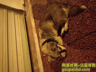 上饶寻狗网,上饶市信州区志敏东大道,它是一只非常可爱的宠物狗狗,希望它早日回家,不要变成流浪狗。